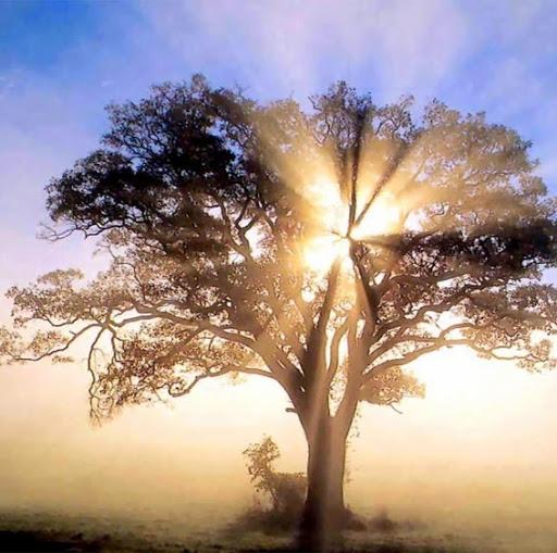Xem cây vả: SN Tin Mừng thứ Sáu tuần XXXIV TN C (29.11.2019)
