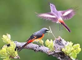 Lòng hiếu của chim Oanh Vũ